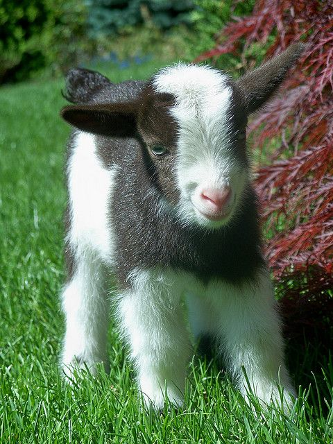 Baby Nigerian Dwarf Goat. I've always wanted a goat, and one this cute would be wonderful!