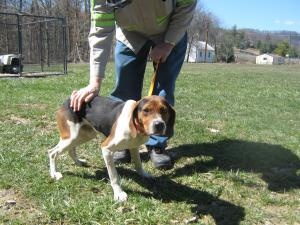 #WVIRGINIA #URGENT ~ BO ID 13APR07 is a10mo old  #adoptable Treeing Walker Coonhound #Puppy Dog in #Summersville. He is a friendly dog, loves attention. Bo was found on Irish St. in Summersville WV on 4/2/13, and is current on vaccinations and worming. NICHOLAS COUNTY ANIMAL SHELTER  Summersville, WV 26651 M-Sat 9:30a-3:30p  Ph 304 872 7877    mailto:nicholasan...