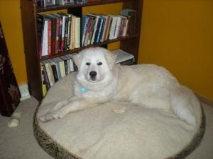 Annie is an #adoptable #Great #Pyrenees #Dog in #Franklin, #WI. Annie is a lovely girl who has lost her home due to her owner's financial setbacks and change of living situation. She is used to living with ...