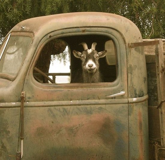 Gotta luv the goat.