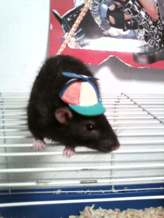 Cute Pet Rat With Beanie Hat