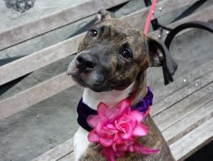LADY is an adoptable American Staffordshire Terrier Dog in New York, NY. A volunteer writes: Lady is a lovely girly girl who is with us as her master was going through some hard times. Although she ha...