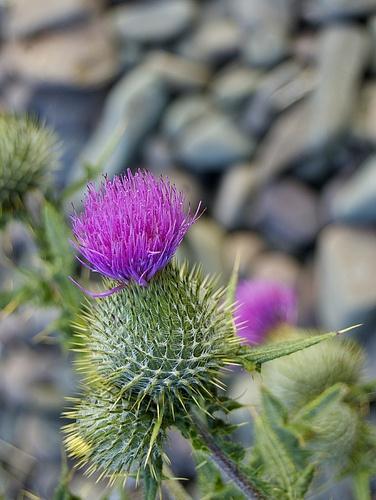 Thistle on a pebble beach on Skye, #Scotland