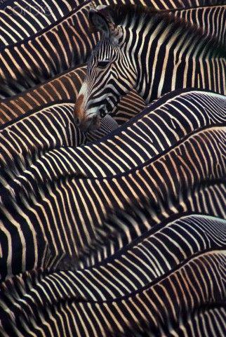 Zebra camouflage.