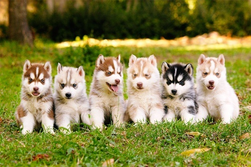 Cute Husky puppies cute-pet-pictures