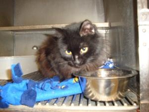 MICHIGAN ~ URG'T ~ ID 27 is an adoptable Domestic Long Hair-Black Cat in Flint. We have lots of cats and kittens. Come on in and see if you might like one of them. ~~ Genesee County Animal Control   G 4351 W Pasadena Ave   Flint, MI 48504   Phone: (810) 732-1660    Email: mailto:animalcont...