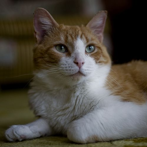 Hepburn  Domestic Short Hair - Orange And White: An adoptable cat in Chicago, IL