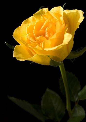 Sunny Sunday Rose