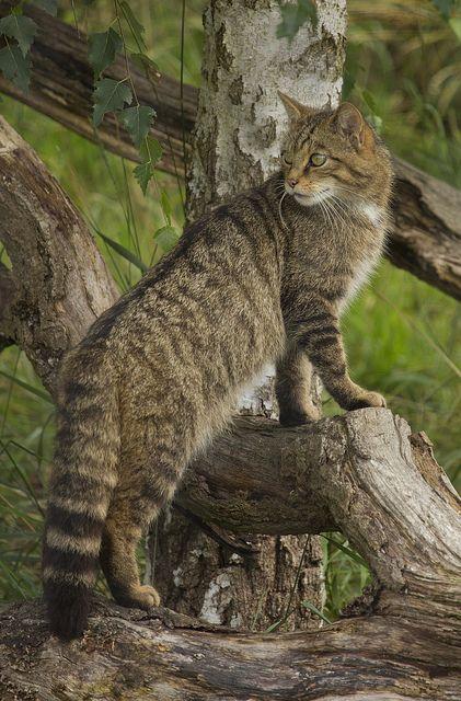 ?BWC Scottosh Wild Cat - Showing off the distinctive Wild Cat tail.