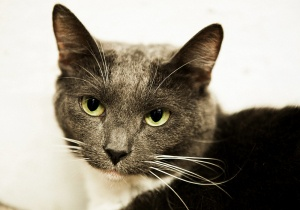Momfasa is an adoptable Domestic Short Hair-Gray Cat in Freeport, NY. MomFasa is beautiful and elegant but so lonely at the shelter. Won't you please visit this pretty kitty at our Freeport location? ...