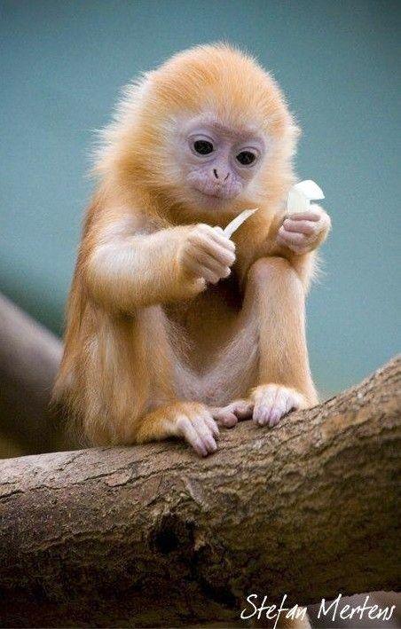 Cute baby Langur