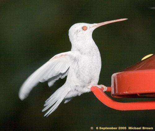 Allen Gilbert's Albino Hummingbird / Flickr - Photo Sharing!
