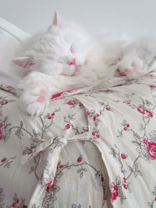 So preciously lovely. #cat #kitty #white #pink #sleeping #pets #animals