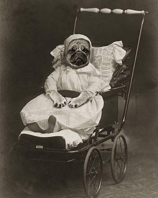 Vintage Pug.
