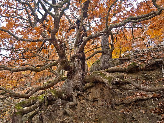 Mighty roots of a gnarly oak - fall red - Mächtige Wurzeln einer Knorreiche - rotes Herbslaub by zeitspuren, via Flickr