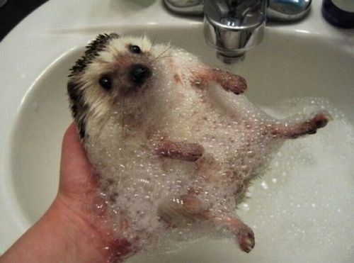hedgehog bath time! #cute