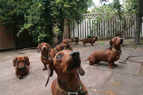 It's a school of dachshunds!