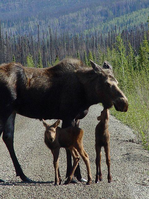 momma moose & her babies