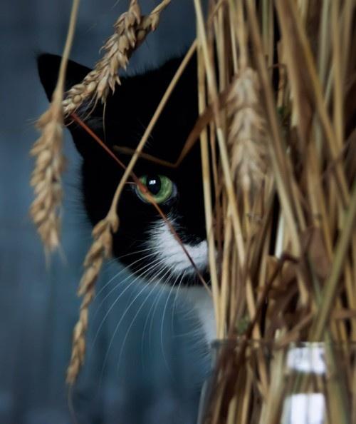 black cat, white mustashe