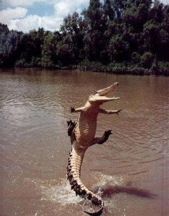 Gators can actually propel themselves really high