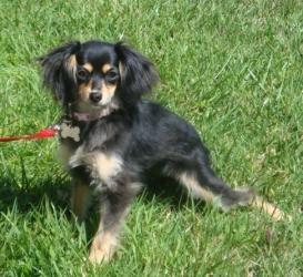 Nina is an #adoptable Cavalier King Charles Spaniel, Dog; #ShermanOaks, #CALIFORNIA
