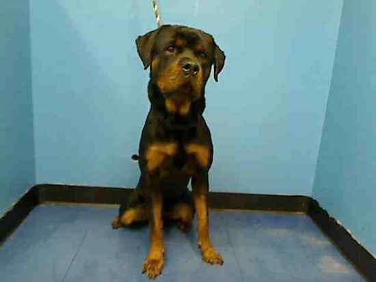 #NewYork #URGENT ~ Kuma ID A0981093 is a Rottweiler in need of a loving #adopter / #rescue at MANHATTAN ANIMAL CONTROL #Adoption info page  nycacc.org/Adopt.htm 326 E 110th St #NewYork NY 10029 mailto:adoption@n... Ph 212-788-4000