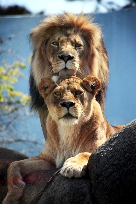 Lion Pride #wild #animals
