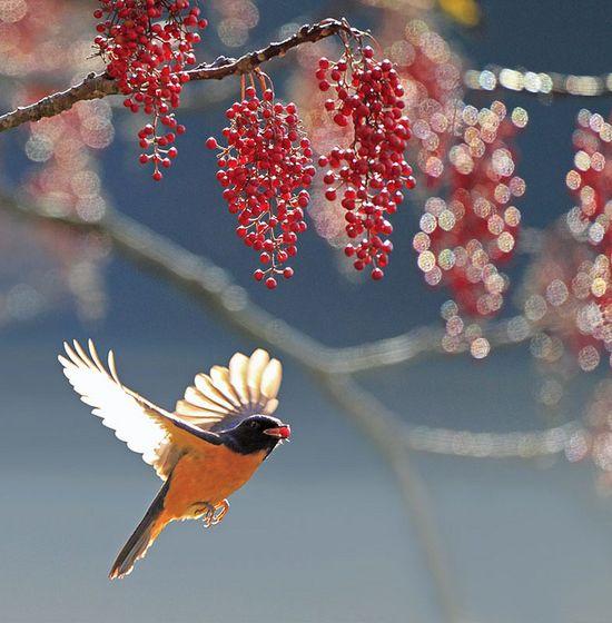 bird in flight with berry