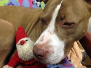 Sweet Pea is an adoptable Pit Bull Terrier Dog in Norwalk, CT.  Sweet Pea is a wonderful, affectionate girl who adores people, belly rubs, rolling around in the grass, and playing tug-of-war. But mor...