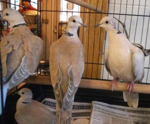 """#NEWYORK ~ 7 Ringneck Doves are #adoptable in Middletown. Naturally tame birds. They would do best in pairs, too many together fight a little. These finely feathered friends are seeking a perch in loving fur-ever homes. #Adopt them at the """"low kill""""  HUMANE SOCIETY OF MIDDLETON NEWYORK  142 Bloomingburg Rd  Middletown NY 10940  Ph 845-361-1861 mailto:Luvyrpets2..."""