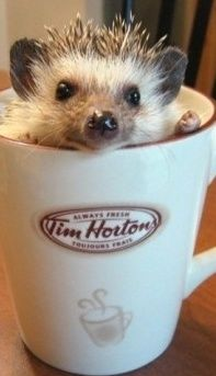 Cute Pet Hedge Hog In Coffee Mug / theverybesttop10.com