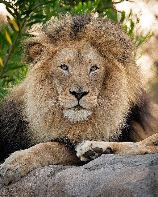 ~~M'bari ~ lion portrait by day1953~~