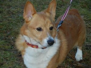 Digger is an #adoptable #Corgi #Dog in #Natick, #MASSACHUSETTS. HI EVERYBODY, MY NAME IS DIGGER  AND I'M A  24LB - 8YR OLD RED AND WHITE CORGI. IF YOUR FAMILIAR WITH THE CORGI BREED THAN YOU'LL JUST LOVE ME! I'M LOOK...