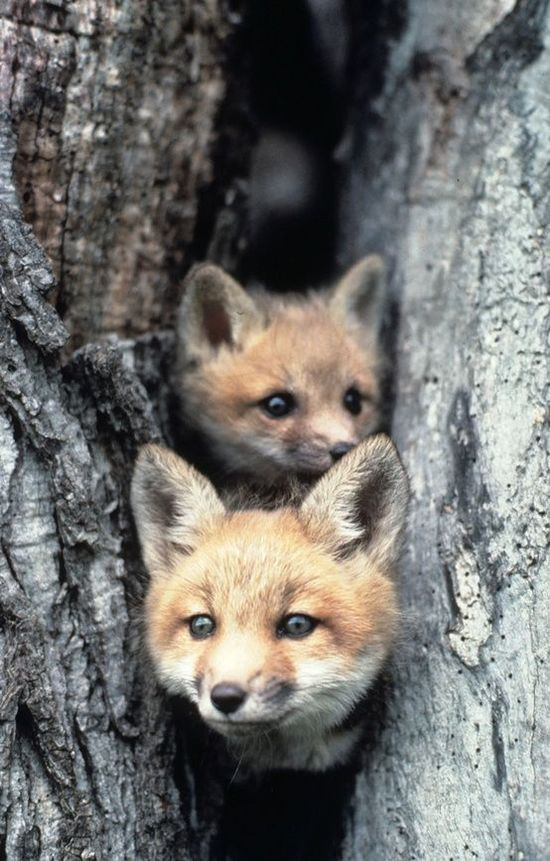Two orange foxes sticking their heads out of a hole in a tree.