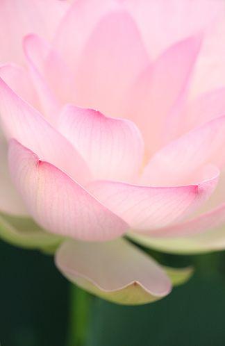 Lotus Flower. My favorite flower. -Angelie