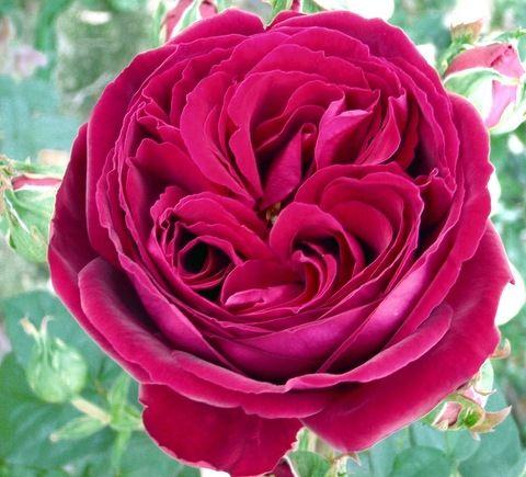 Gospel garden rose