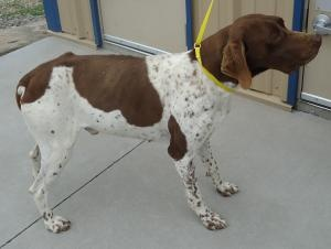 Cody is an #adoptable German Shorthaired Pointer Dog in #Emporia, #KANSAS. Very timid....very sweet needs some love! Please click on pic for additional info on this dog????