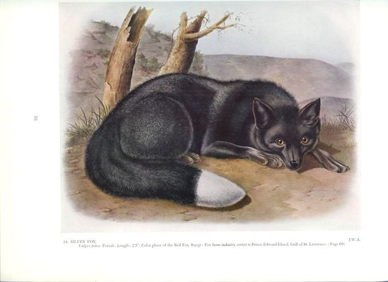 1951 Audubon Animal Print - Silver Fox - Vintage Antique Book Plate Art Illustration Natural Science Great for Framing. $12.00, via Etsy.