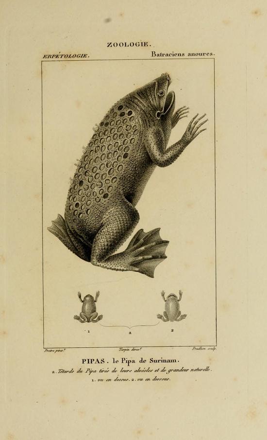 Batraciens anoures. Dictionnaire des sciences naturelles. Plates: Zoologie: Poissons et Reptiles  Strasbourg,