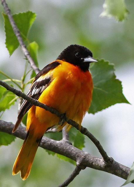 Baltimore Oriole  gaudy plumage & song of angels