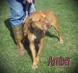 S.CAROLINA ~ Amber is an adoptable Terrier Dog in Mullins. We are rescue friendly, adoption friendly, and transport help is available. Please contact Karen at mailto:SaveAMario... for more information about adopting or rescuing a pet from PTTR/Marion County Animal Shelter! ID# 122233 Info: AC got a call  two of the females' chains got wrapped & they got 'stuck' ~ Approx.Age: 2 y/o  Weight: 38 lbs  HW status: Negative -pin 12/21