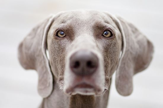 another sweet weim