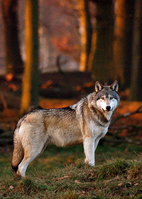 ?Wolf Watching by canis.rufus