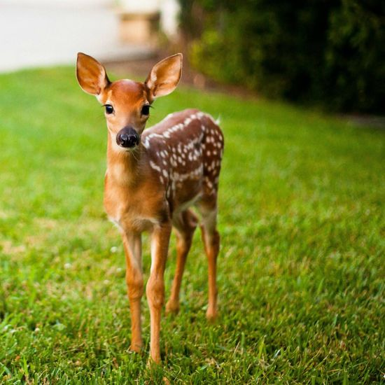 Fawn   ...........click here to find out more     googydog.com