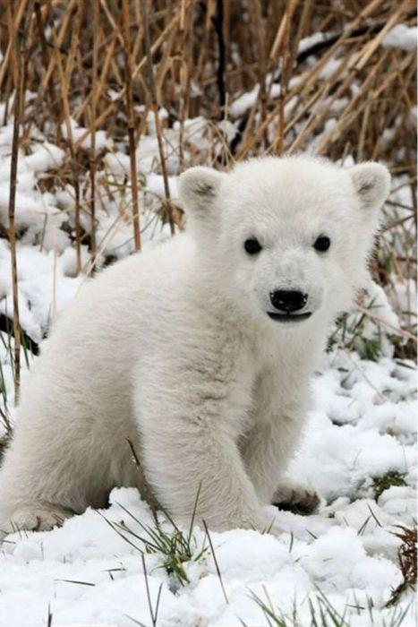 Adorable polar bear cub.