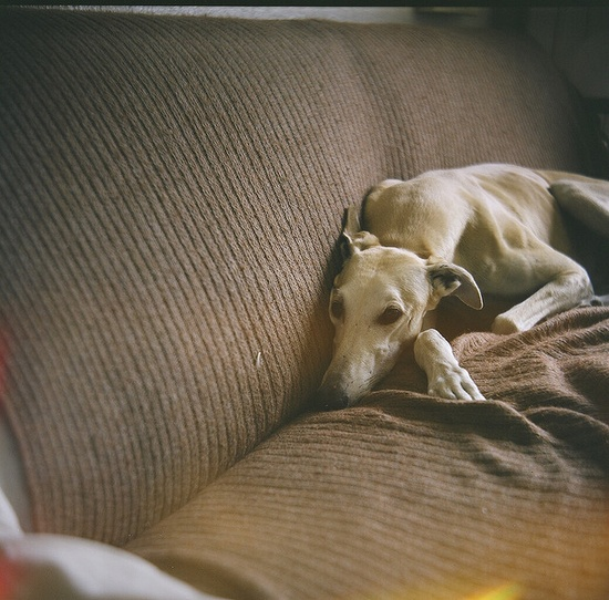 40 mile per hour couch potato: the Greyhound.