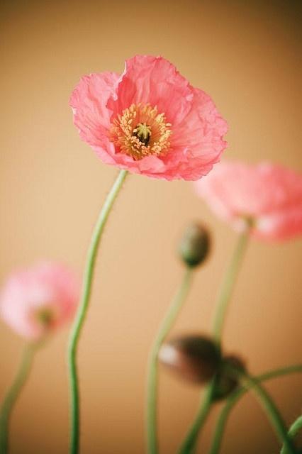 poppies #FlowerShop