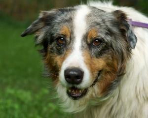Allie is an adoptable Australian Shepherd Dog in Beldenville, WI. Allie is a 5 year old Australian Shepherd. She has some nerve damage in her hind legs due to an earlier trauma, but she gets around ju...