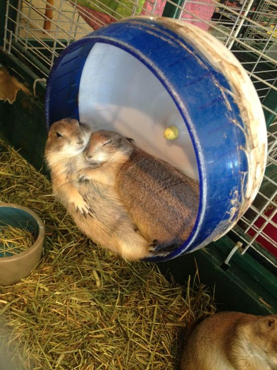 """via reddit """"Two prairie dogs cuddling like humans at the pet store yesterday."""""""