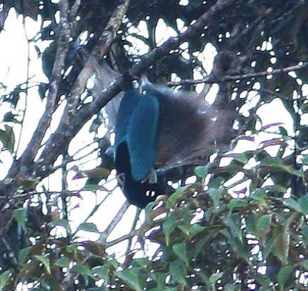 Blue+Bird+of+Paradise